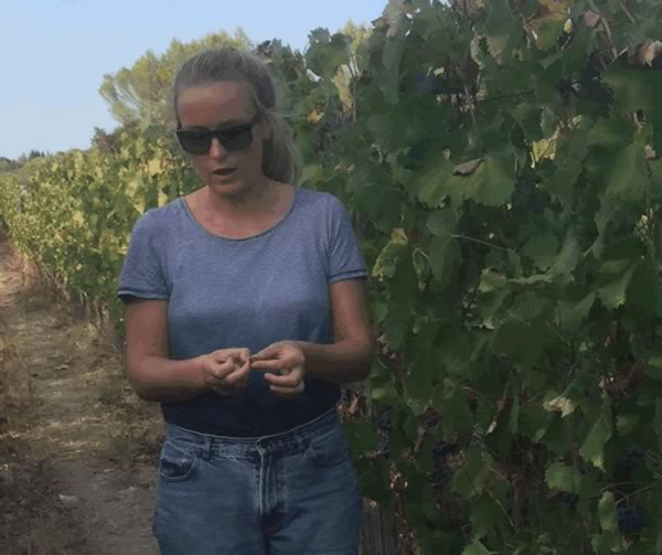 Vines tended by hand