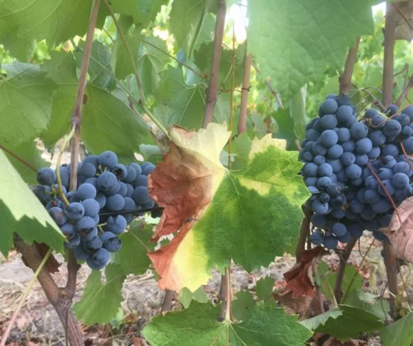 Ripe Healthy Grapes Getting Picked